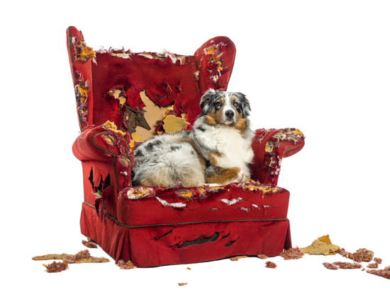 Australian Shepherd dog sitting on a destroyed red chair
