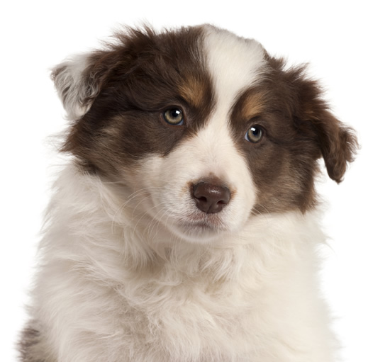 Border collie puppy dog close up