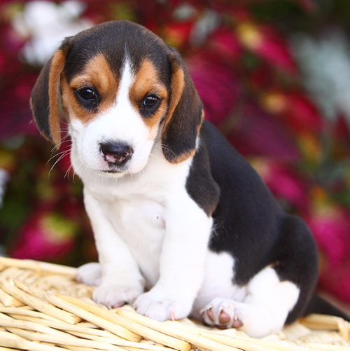 beagle puppy sitting on a basket